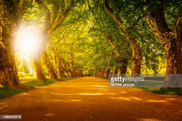 sunset behind beautiful alley with huge trees - torto imagens e fotografias de stock