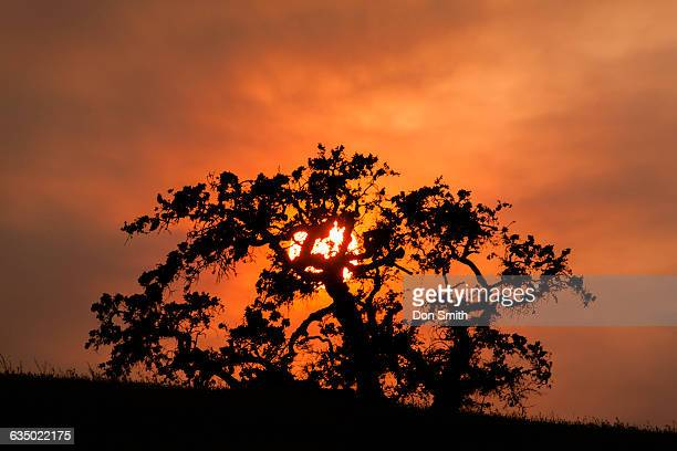 sunset behind oak - don smith stock pictures, royalty-free photos & images