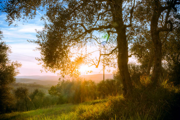 Sunset Behind Olive Trees, Belverde, Italy