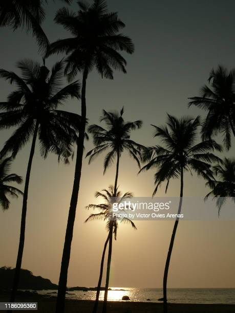 sunset behind the coconut palm trees in galgibaga / turtle beach, south goa, india - victor ovies fotografías e imágenes de stock