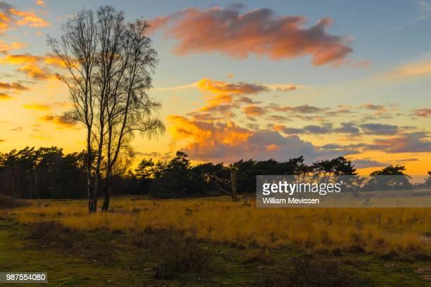 sunset birches - william mevissen bildbanksfoton och bilder