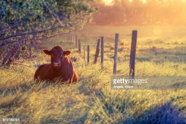 Sunset & bull
