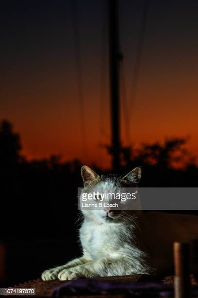 sunset cat - lianne loach photos et images de collection