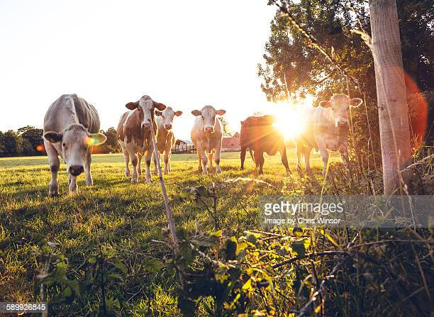Sunset dairy herd