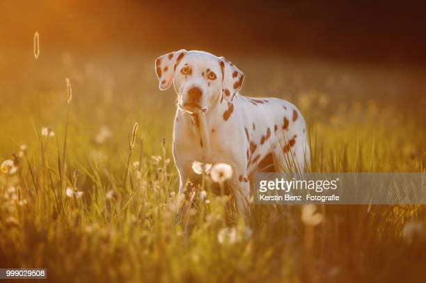 sunset dalmatian