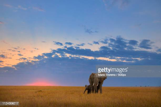 sunset elephants - wildlife stock pictures, royalty-free photos & images