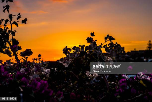 sunset flowers - oskar stock pictures, royalty-free photos & images