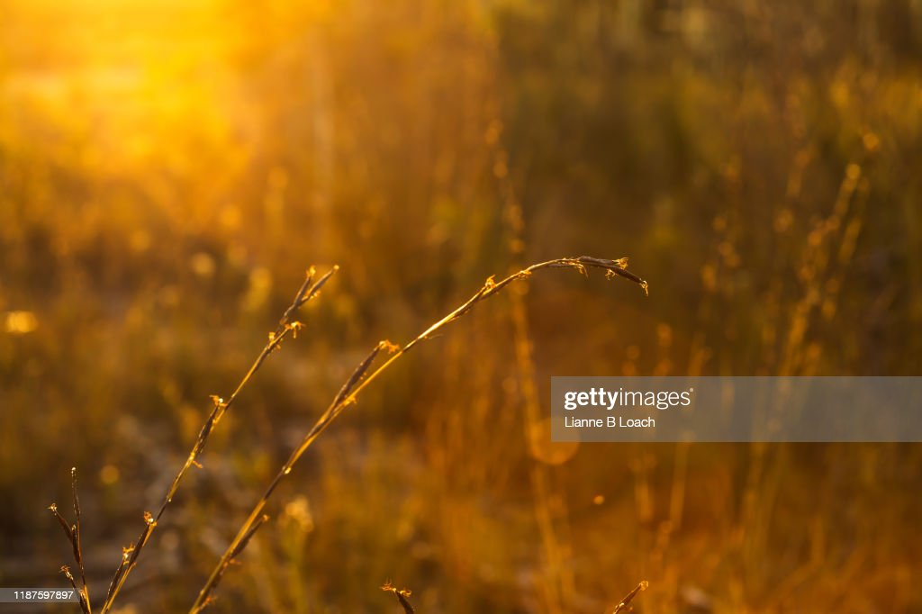 Sunset Grass : Stock Photo