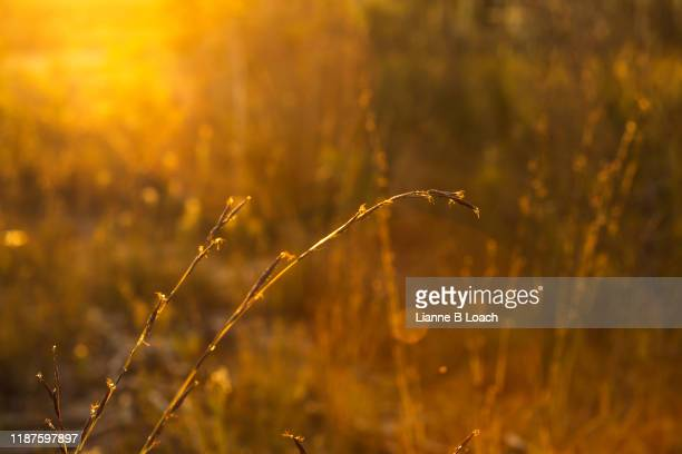 sunset grass - lianne loach stock pictures, royalty-free photos & images