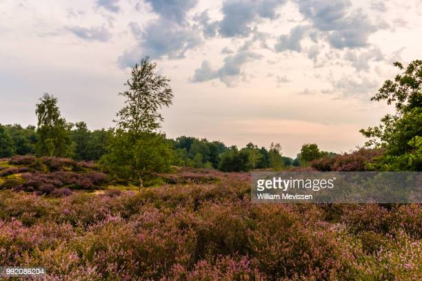 sunset heathland - william mevissen stock pictures, royalty-free photos & images