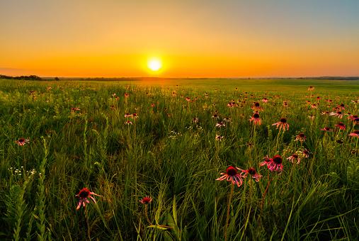 Sunset in a Prairie Field of Purple Coneflowers 464837638