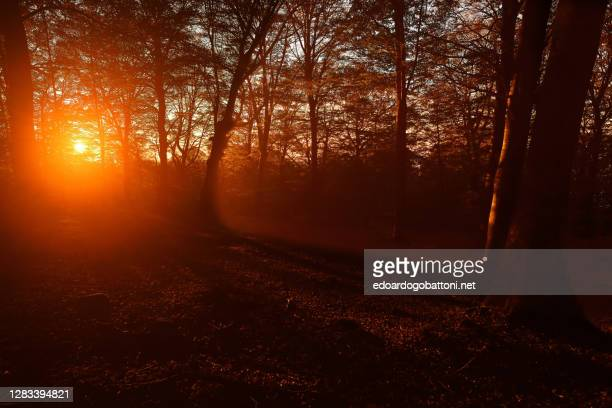 sunset in beech forest - edoardogobattoni.net foto e immagini stock