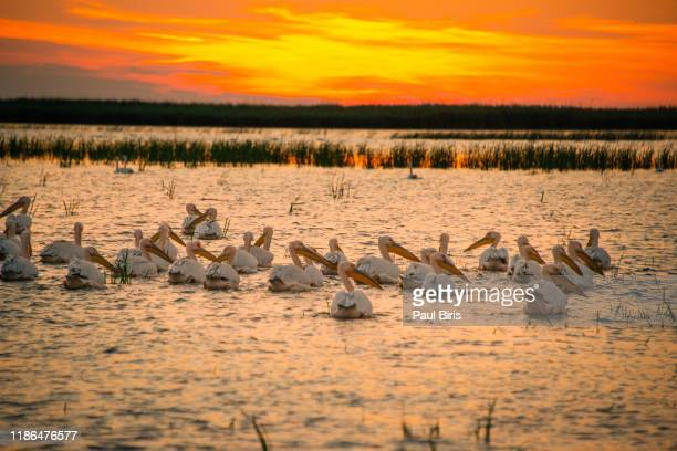 sunset  in danube delta with pelicans nearby,romania, europe - pelican stock pictures, royalty-free photos & images