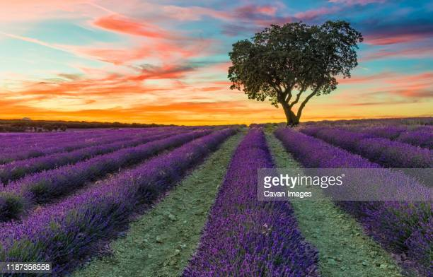 sunset in lavender fields - castilla la mancha fotografías e imágenes de stock