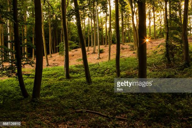 sunset in the forest (usedom, germany) - ウセドム ストックフォトと画像
