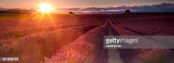 pôr-do-sol nos campos de lavanda - color lavanda - fotografias e filmes do acervo