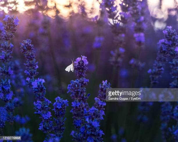 sunset in the lavenderfields of valensole - sandra gygax stock-fotos und bilder