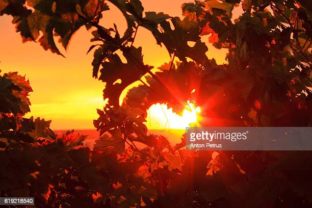 sunset in the vineyard. heart from leaves - 谷 ストックフォトと画像
