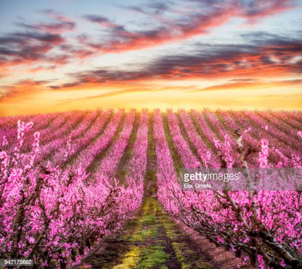 sunset landscape with blossom peach tree in spring in aitona, catalonia, spain - peach tree stock pictures, royalty-free photos & images