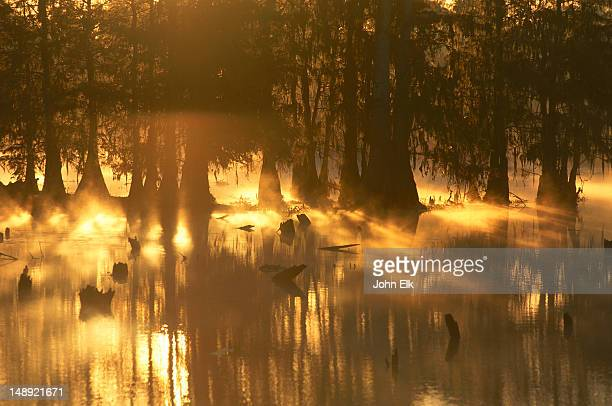 sunset light streaming through bald cypress trees on lake martin. - bald cypress tree stock photos and pictures