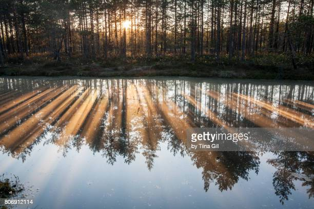 sunset light through the trees in the bog - bog stock photos and pictures