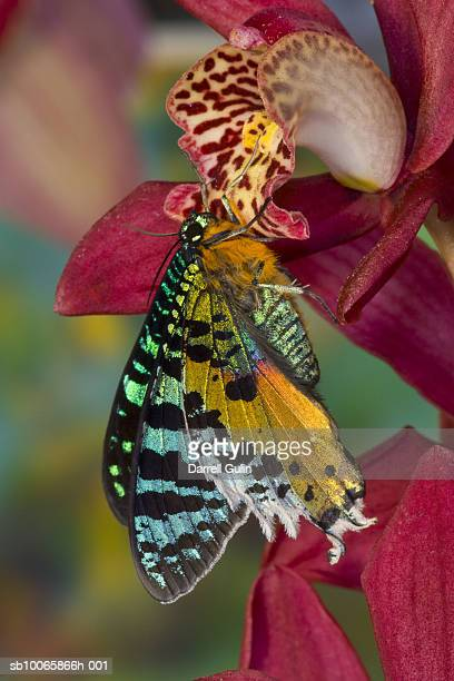 sunset moth (chrysiridia ripheus) on orchid, close-up (focus on foreground) - sunset moth stock photos and pictures