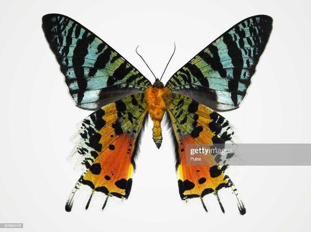 Sunset moth. : Stock Photo