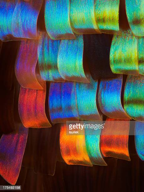 sunset moth wing scales - sunset moth stock photos and pictures