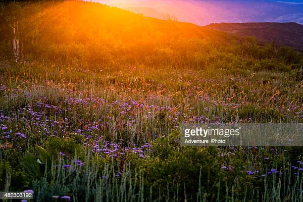 Sunset 山の花の牧草