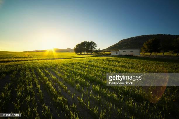 sunset on a green planting ground - ムルシア市 ストックフォトと画像