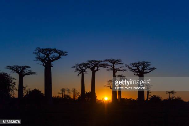 Sunset on baobabs