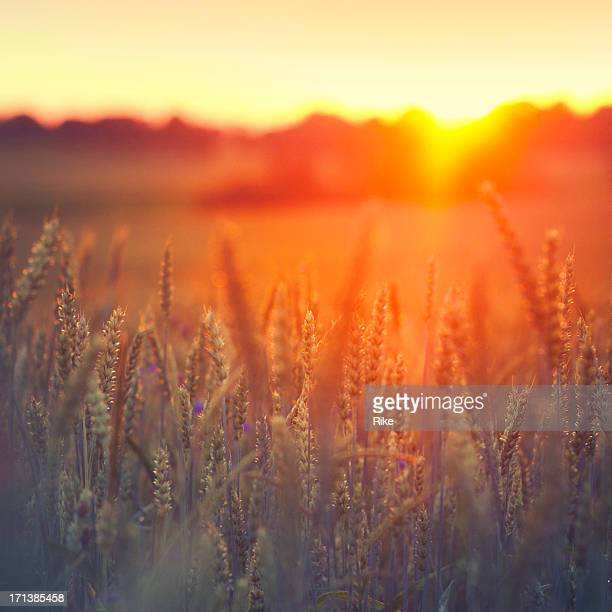 sunset on grainfield - cross processed stock pictures, royalty-free photos & images