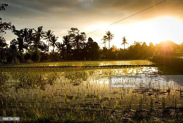 Sunset on Rice paddies in Ubud