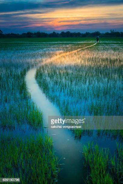 sunset on the cornfield - パトゥムターニー県 ストックフォトと画像
