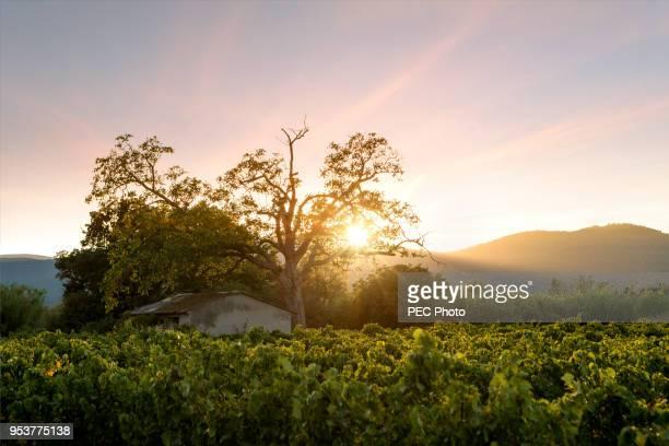 sunset on vineyard - provence alpes côte d'azur photos et images de collection