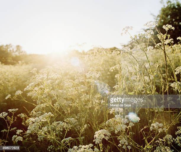 sunset on wild flowers field - uncultivated stock pictures, royalty-free photos & images