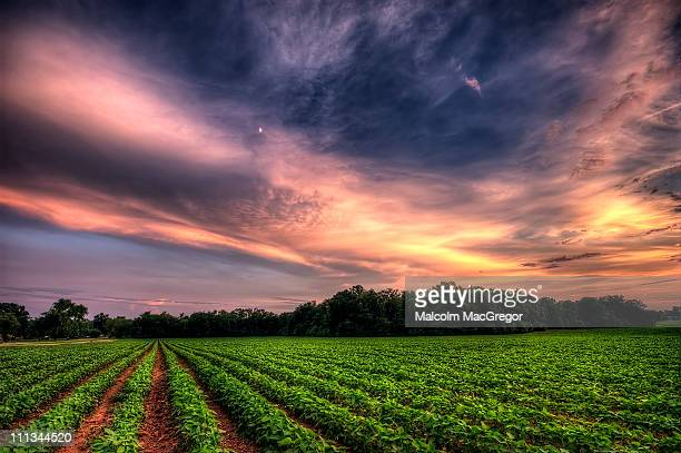 sunset over a soybean field - soybean stock pictures, royalty-free photos & images