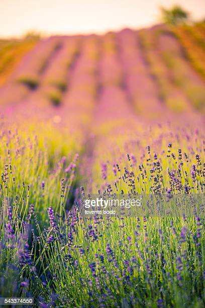 Sunset over a violet lavender field in Hungary. Summer flowers background concept
