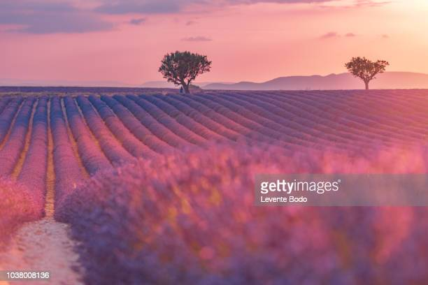 sunset over a violet lavender field in provence, france - aix en provence stock pictures, royalty-free photos & images
