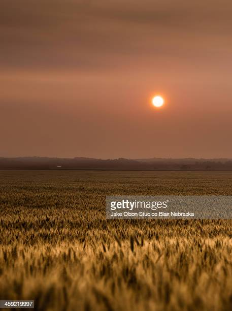 Sunset over a wheat field 2