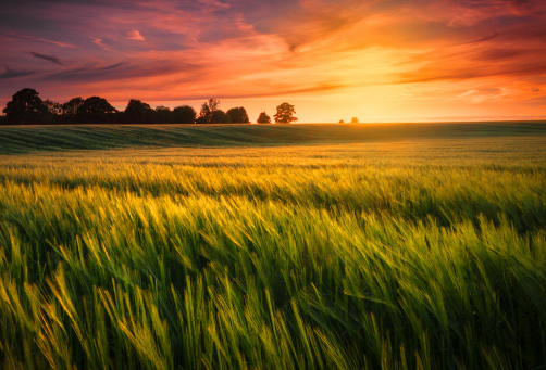 Sunset over a wheat field 185539853