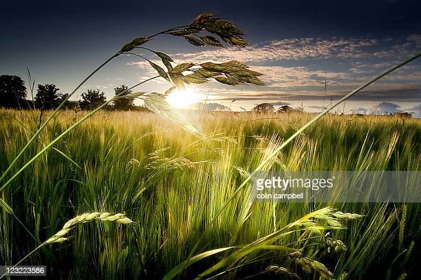 Sunset over barley fields