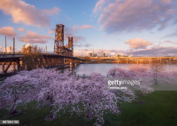 sunset over cherry blossoms, portland, oregon - willamette river stock photos and pictures