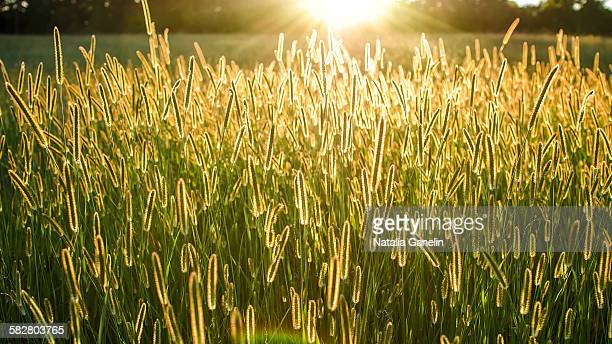 sunset over field of grass - georgia country stock pictures, royalty-free photos & images