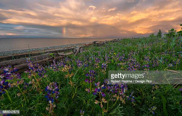 Sunset over Hecate Strait with purple flowers in the foreground