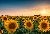 Sunset over huge sunflower field