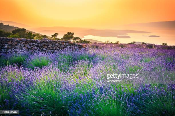 Sunset over Lavender field - Landscape