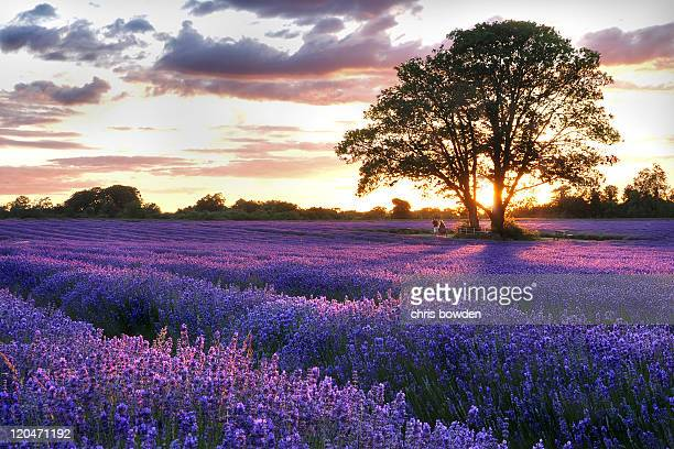 sunset over lavender field - surrey england stock pictures, royalty-free photos & images