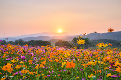Sunset over mountain with cosmos blooming 1130636356