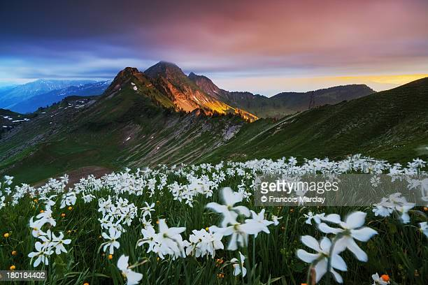 Sunset over narcissus field and Vanil des Artses